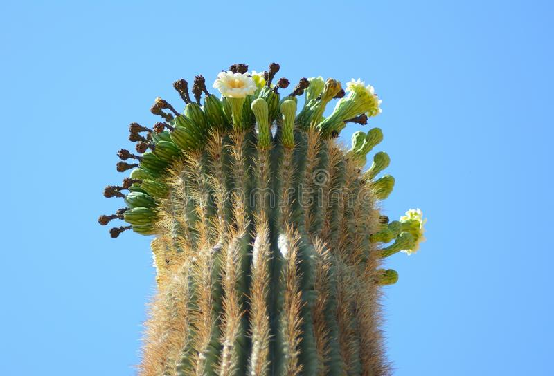 saguaro cactusfruiting photographie stock