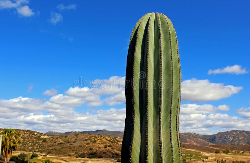 Giant Saguaro, desert landscape. The saguaro, Carnegiea gigantean, is an arborescent tree-like cactus species in the monotypic genus Carnegiea, which can grow to stock photos