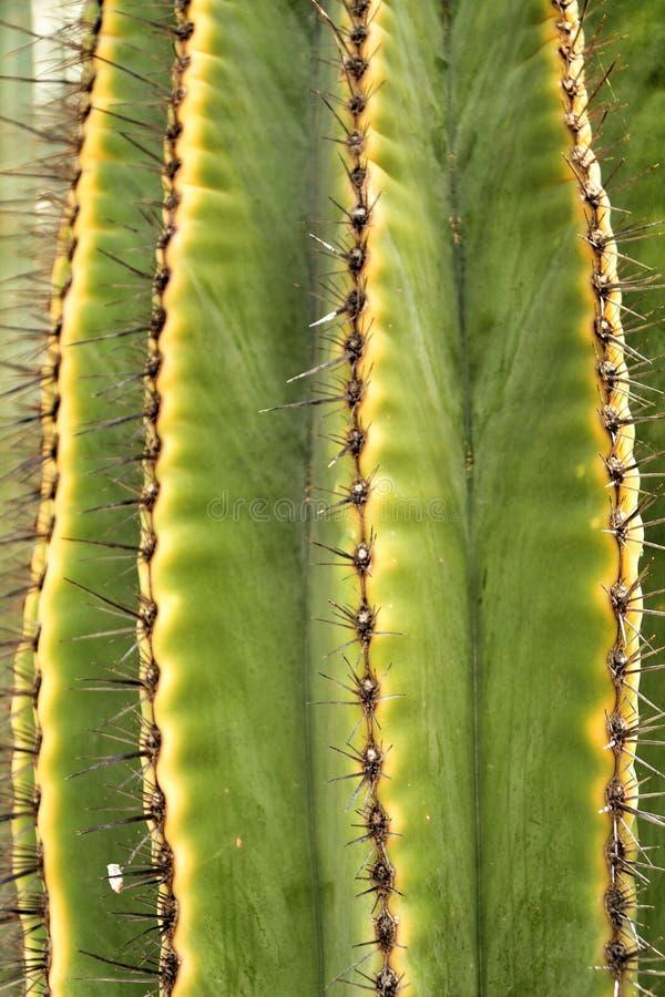 Saguaro Carnegieagiganteakaktus i trädgården royaltyfri fotografi