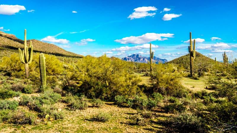 Saguaro, Chollaand andere Kakteen in der Halbwüsten- Landschaft um Usery-Berg und Aberglaube-Berg im Hintergrund lizenzfreie stockbilder