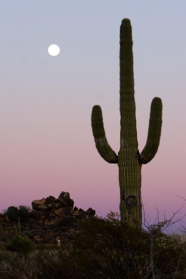 saguaro de cactus photo stock