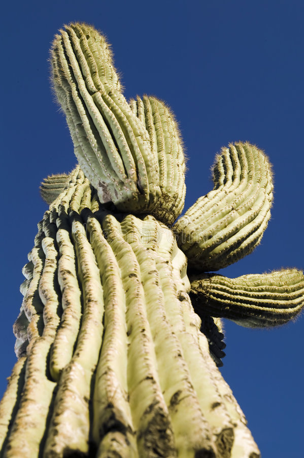 saguaro de cactus de l'Arizona photos stock