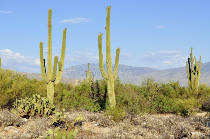 Saguaro in der Arizona-Wüste lizenzfreies stockfoto