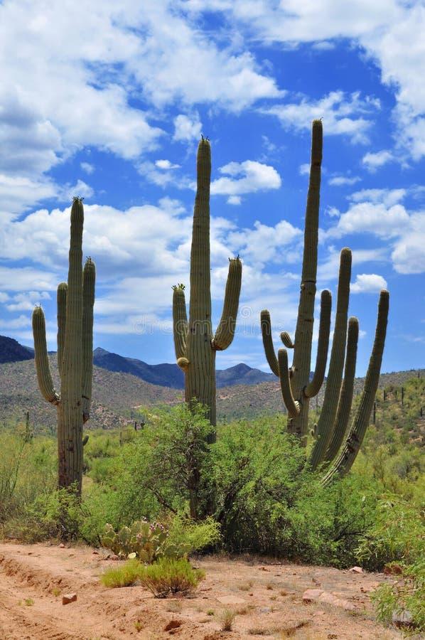 Download Saguaro do deserto imagem de stock. Imagem de alto, irregular - 12800891