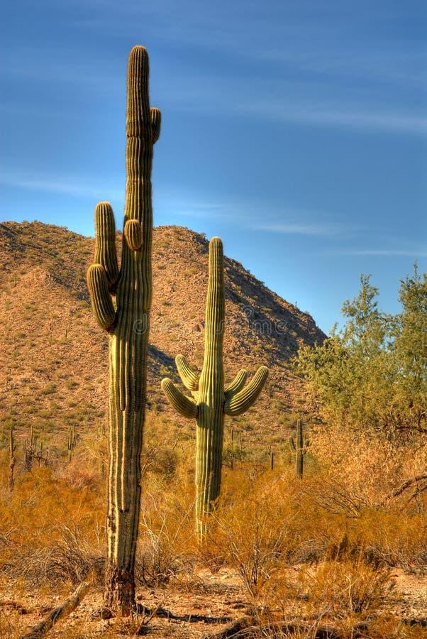 saguaro för 111 öken royaltyfri bild