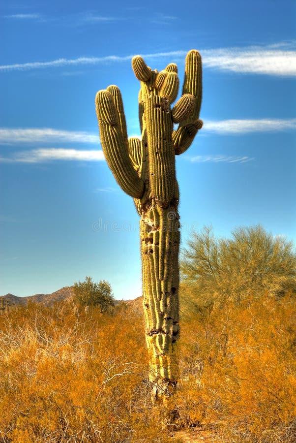 saguaro för 23 kaktus arkivbilder