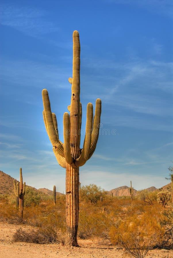 saguaro för 37 öken royaltyfri fotografi