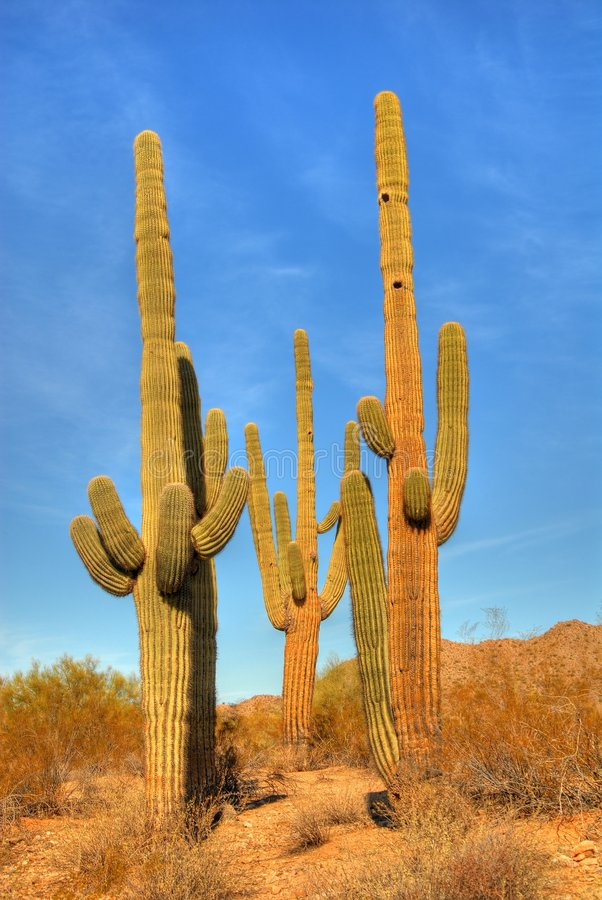 saguaro för 49 öken arkivfoton