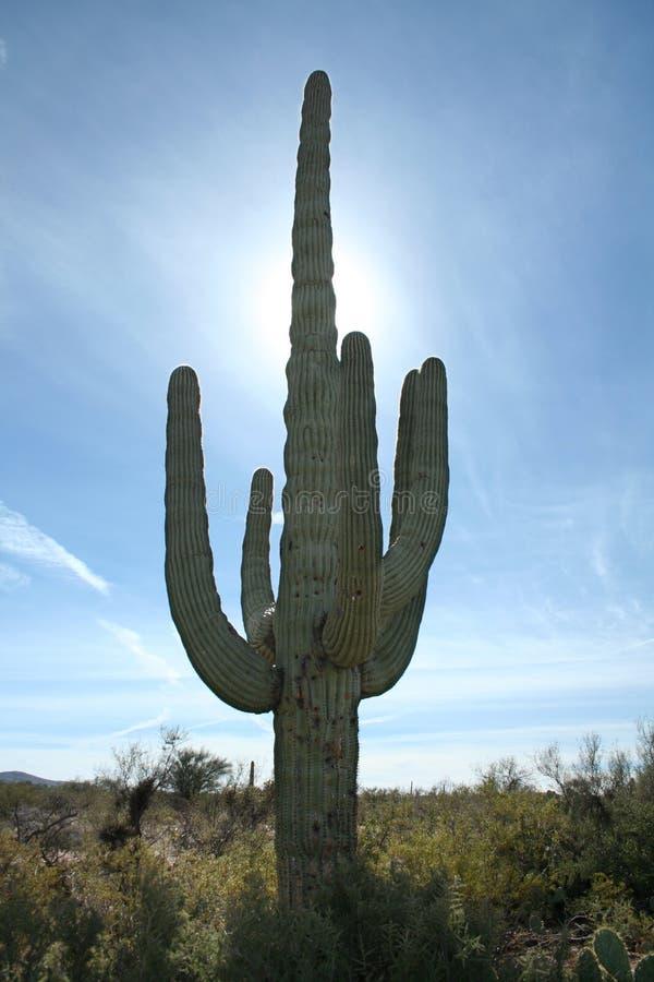 saguaro för arizona kaktusöken arkivbilder