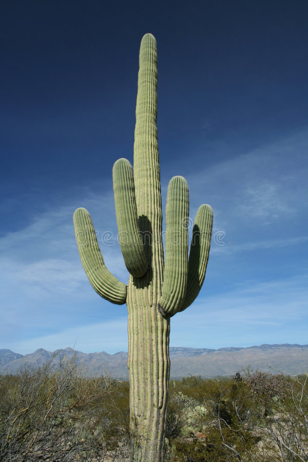 saguaro för arizona kaktusöken royaltyfria bilder