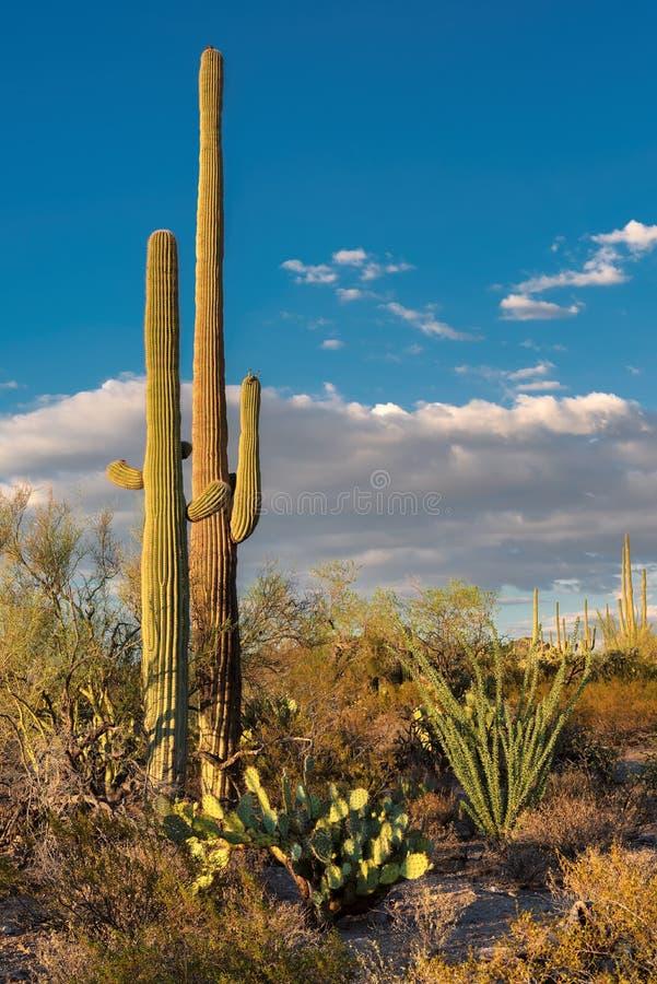 Saguaro géant en parc national de Saguaro, près de Tucson Arizona photo stock