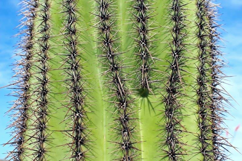 Saguaro gigante immagini stock