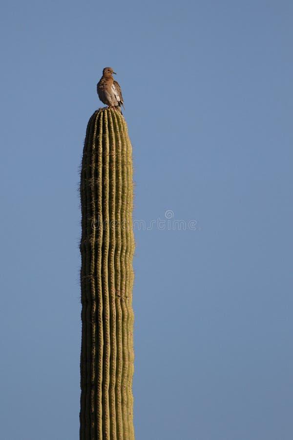 Saguaro gigante, gigantesco del Saguaro imágenes de archivo libres de regalías