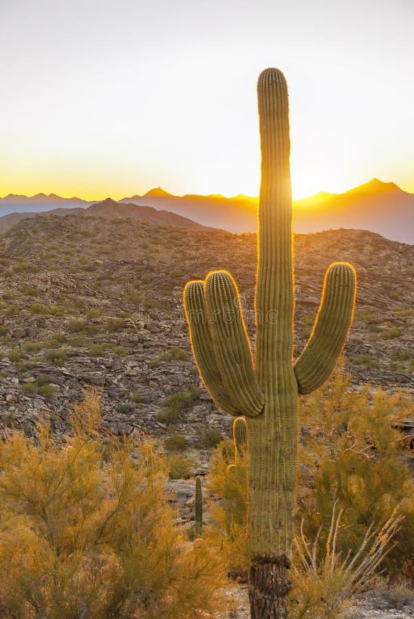Saguaro im Sonnenuntergang stockfoto