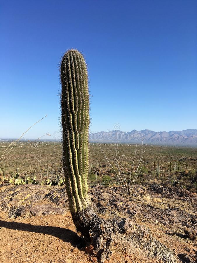 Saguaro-Kaktus - Arme entwirrt lizenzfreie stockfotografie