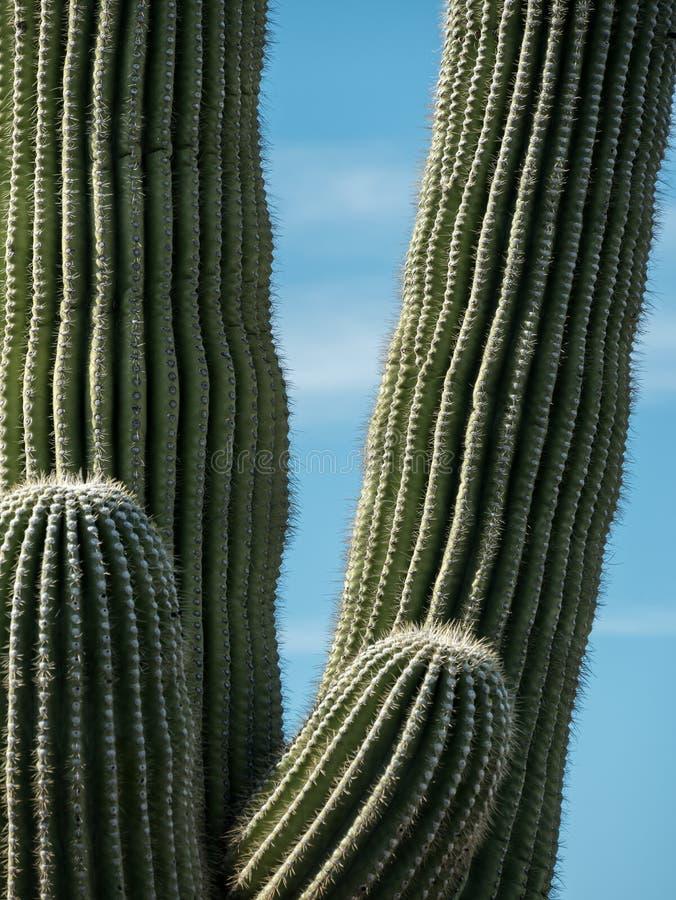 Saguaro kaktus, barwi i wykłada zdjęcie stock