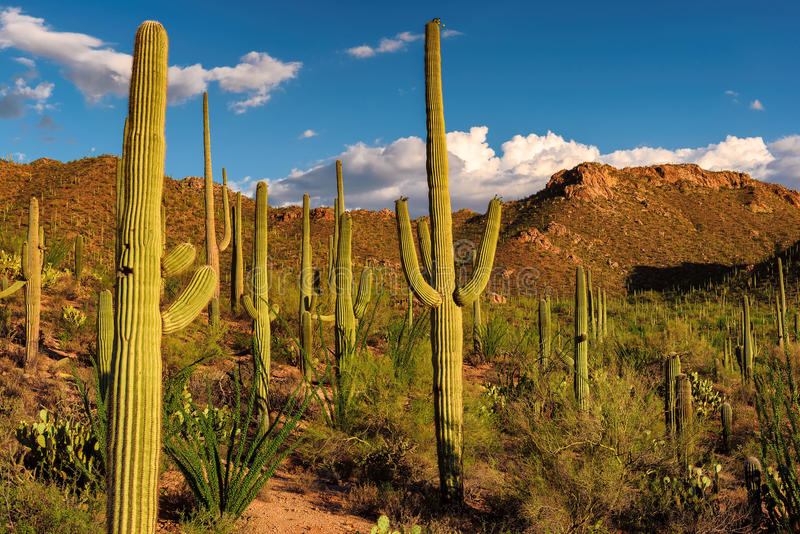 Saguaro-Kaktus bei Sonnenuntergang im Saguaro-Nationalpark nahe Tucson, Arizona lizenzfreies stockbild