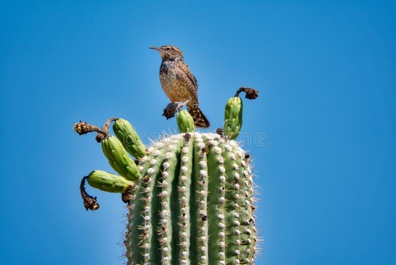 Saguaro-Kaktus-Frucht mit Kaktus-Zaunkönig in der Sonora-Wüste lizenzfreies stockbild