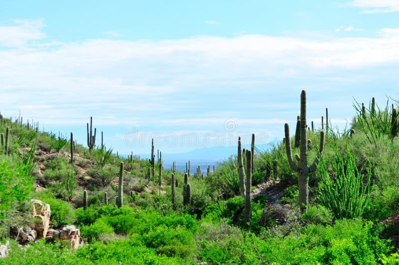 Saguaro-Kaktus-Landschaft Saguaro-Nationalpark, Arizona lizenzfreie stockfotografie