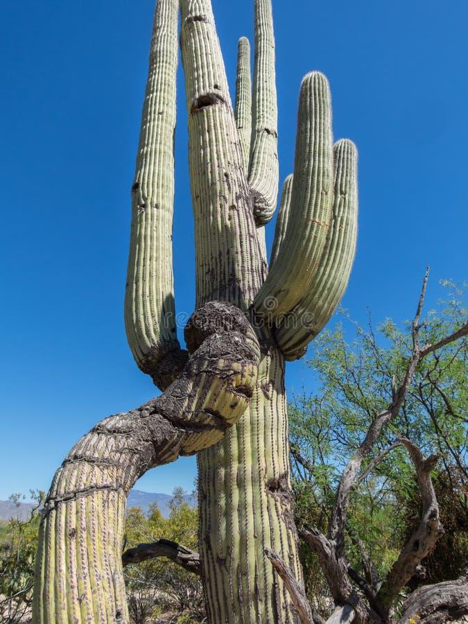 Saguaro kaktus, uszkadzająca kończyna zdjęcie stock