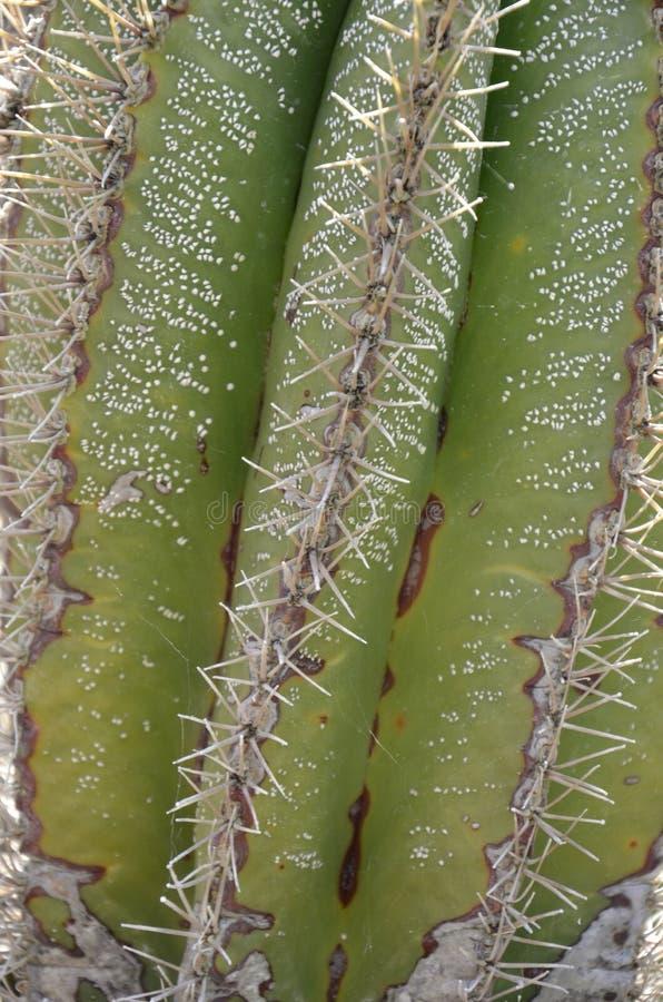 Saguaro kaktusa kręgosłupów i paz tekstura fotografia royalty free