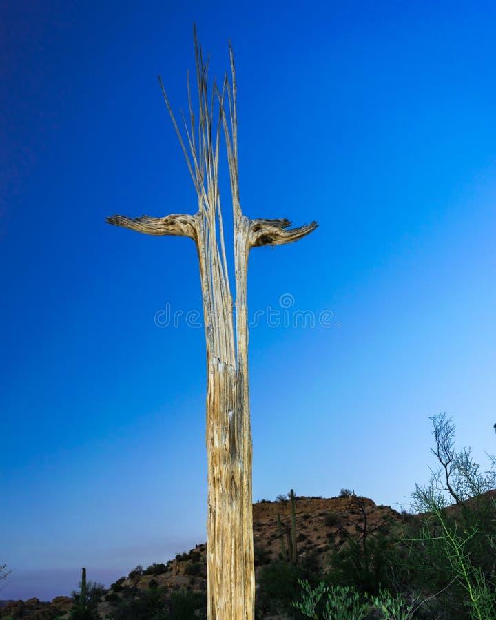 Saguaro Kaktusowy kościec w Arizona fotografia stock