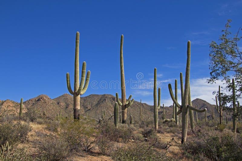 Saguaro Nationaal Park royalty-vrije stock fotografie