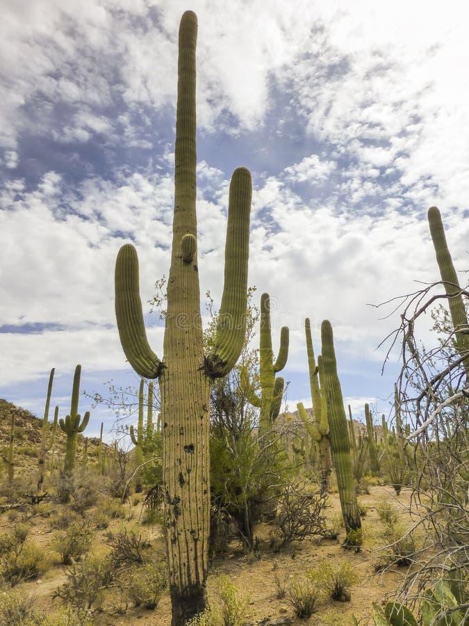 Saguaro National Monument. Saguaro Cactus at Saguaro National Monument in Tucson Arizona royalty free stock image