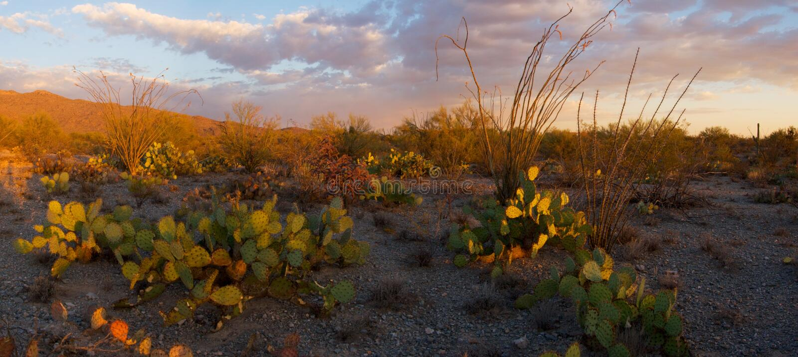 Saguaro National Monument Sunset. Ocotillo and Prickly-pear cacti at Sunset in the Sonoran Desert - Saguaro National Monument, Arizona, USA stock photos