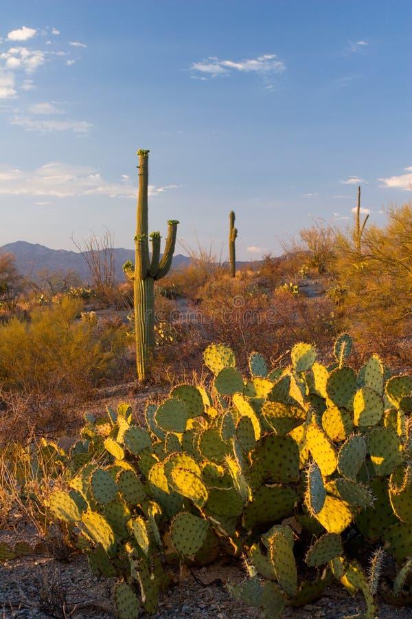 Saguaro National Monument at Sunset