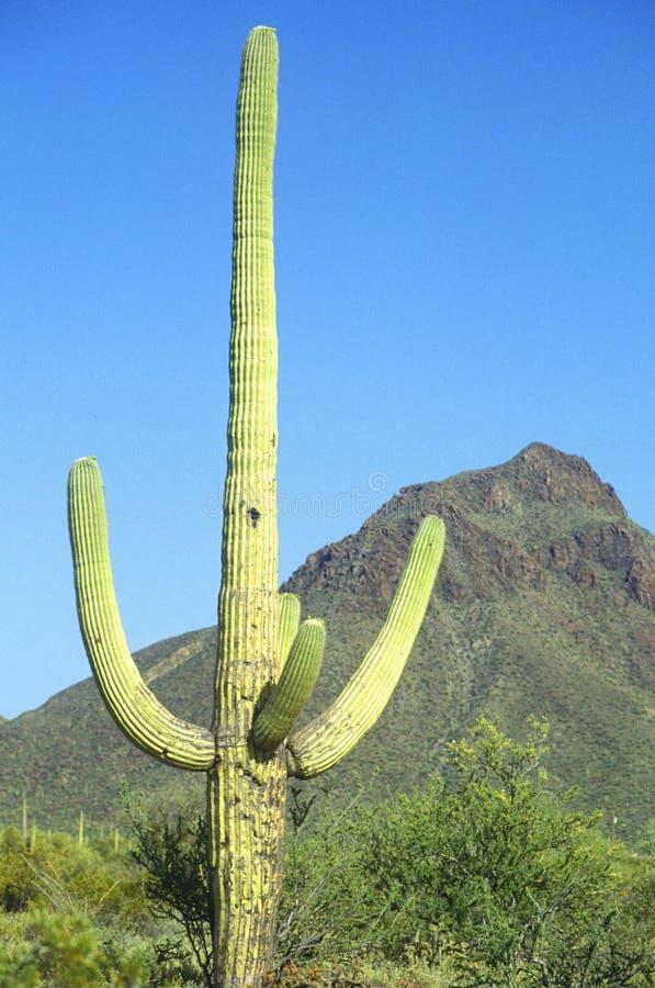 Saguaro National Monument, Tucson, AZ royalty free stock photography