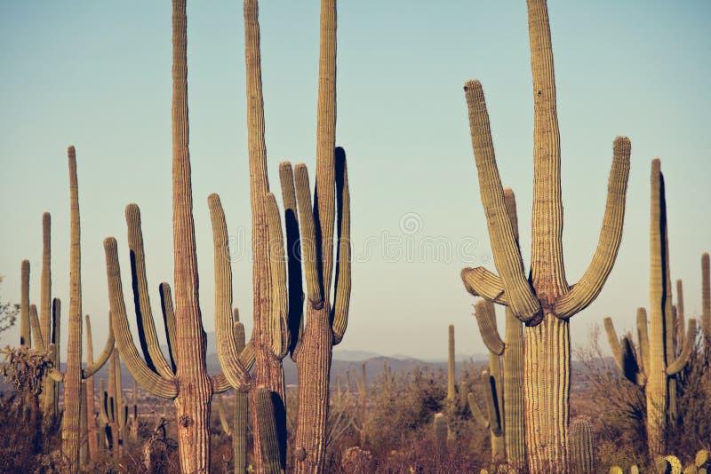 Cactus. Saguaro National Park royalty free stock photos