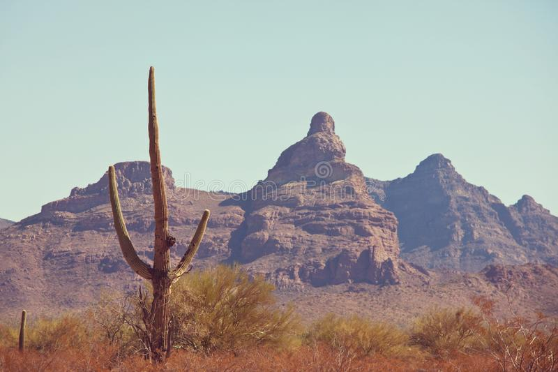 Cactus. Saguaro National Park royalty free stock photo