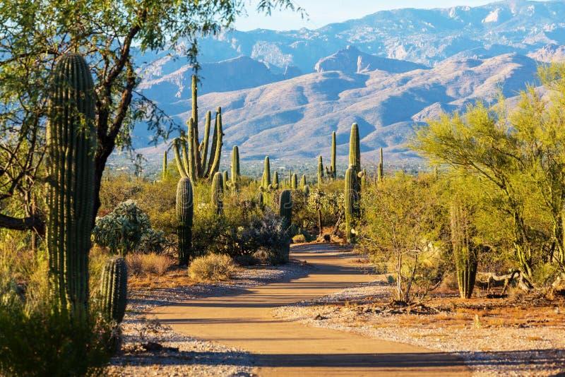 Cactus. Saguaro National Park stock image