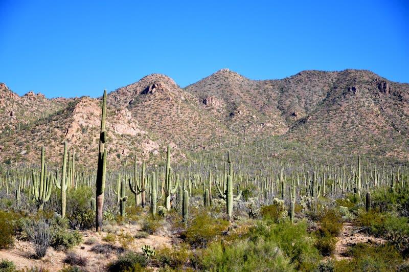 Saguaro National Park royalty free stock photos