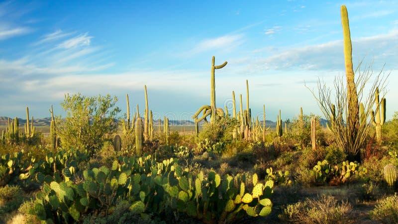 Saguaro-Nationalpark-Landschaft lizenzfreie stockfotos