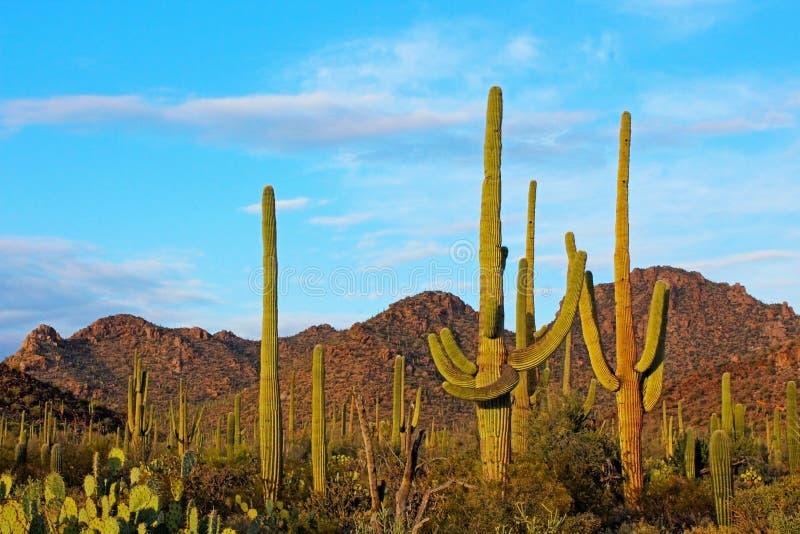 Saguaro-Nationalpark-Landschaft stockbilder
