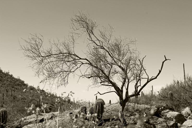 Saguaro-Nationalpark in Schwarzweiss lizenzfreie stockfotos