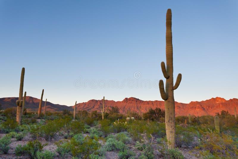 Saguaro NP verlassen Sonnenunterganglandschaft Arizona USA stockfotos