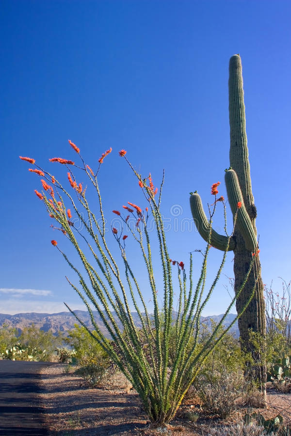 Saguaro And Ocotillo Cactus Royalty Free Stock Photo