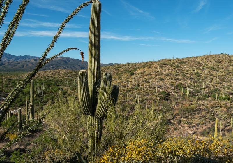 Saguaro park narodowy, Tuscon, Arizona obrazy stock