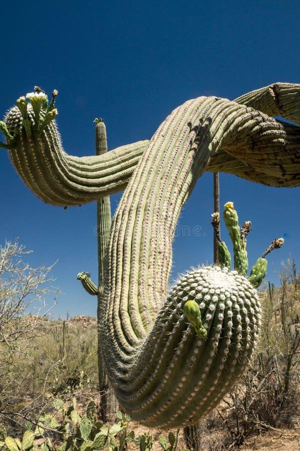 Saguaro-Schlange lizenzfreies stockfoto