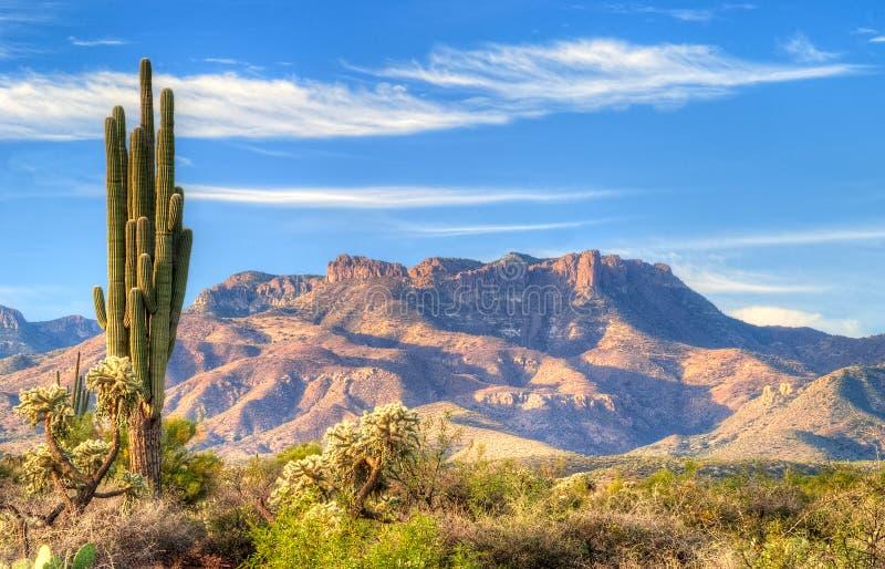 Saguaro. Sonoran Desert catching days first sun rays royalty free stock photos