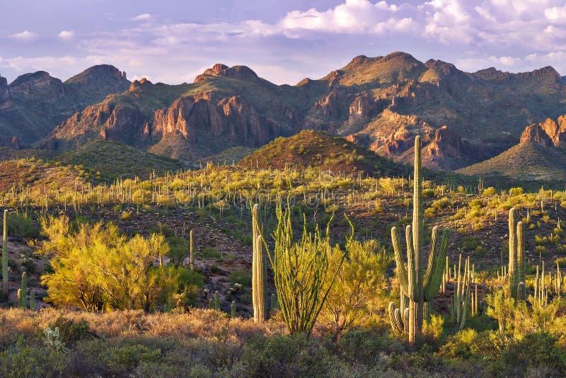 Saguaro. Sonoran Desert with Saguaros catching days last rays royalty free stock photo