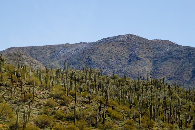 Saguaro y desierto nevado de Sonoran imagenes de archivo