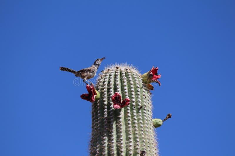 Saguaroblüte stockbilder