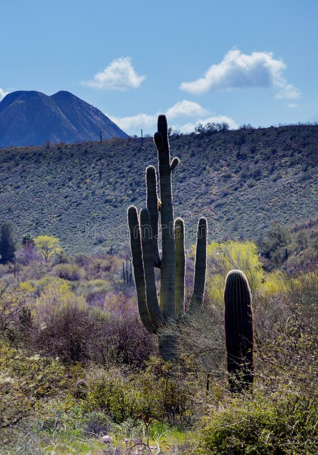 Saguarocactus in bergen, de woestijn van Arizona royalty-vrije stock foto