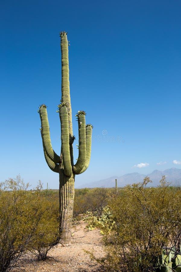 Saguarocactus Tucson Arizona royalty-vrije stock afbeelding