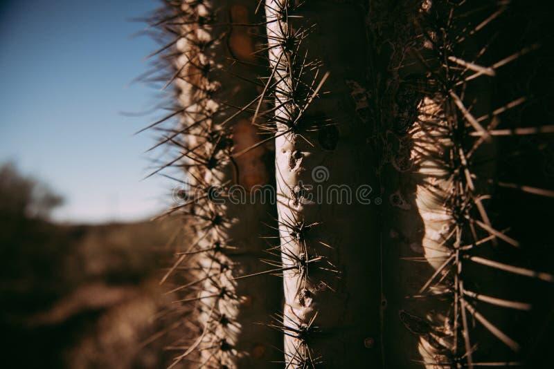 Saguarokakturs i arizona arkivbilder
