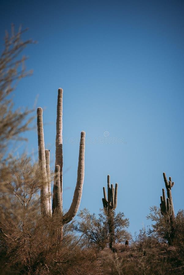 Saguarokakturs i arizona royaltyfria bilder